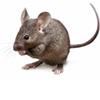 muizen ongediertebestrijding