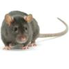 ratten ongediertebestrijding